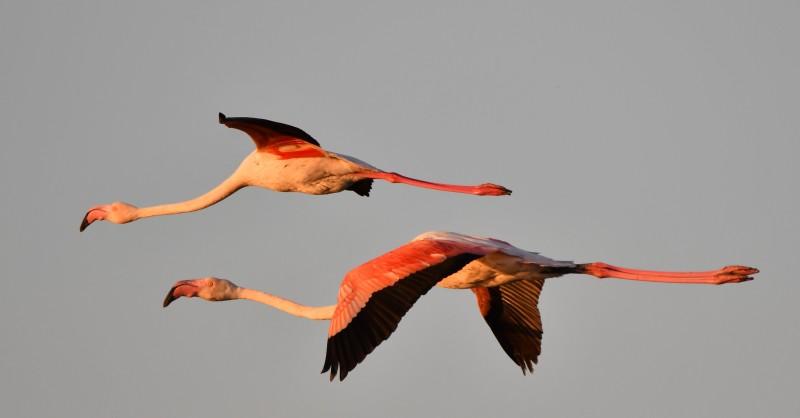 fenicotteri in volo alle valli di comacchio