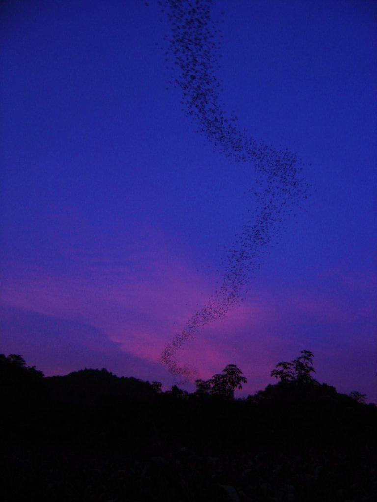 pipistrelli a caccia al tramonto khao yai national park tailandia