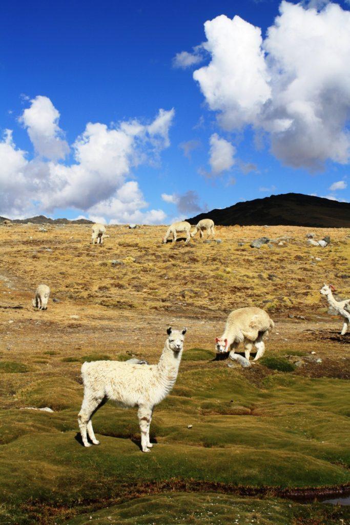 alpacas e nuvole perù