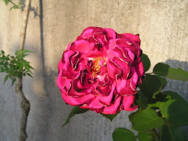 una rosa tra le rose