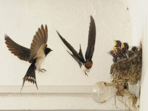 rondini e nido