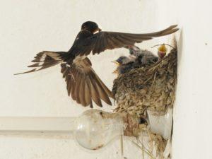 rondine che atterra sul nido dei piccoli