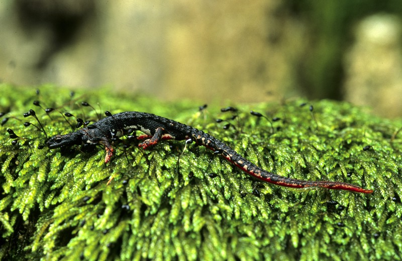 salamandra tergiditata