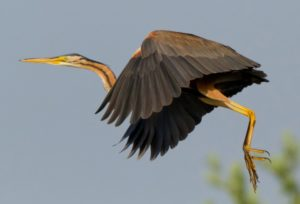 come una danza (ardea purpurea)