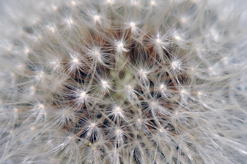 fiore stellato