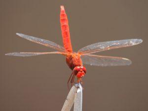 libellula 2