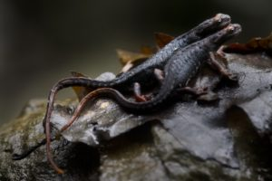 l'amore nel torrente - salamandrine dagli occhiali