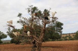 l'albero delle capre