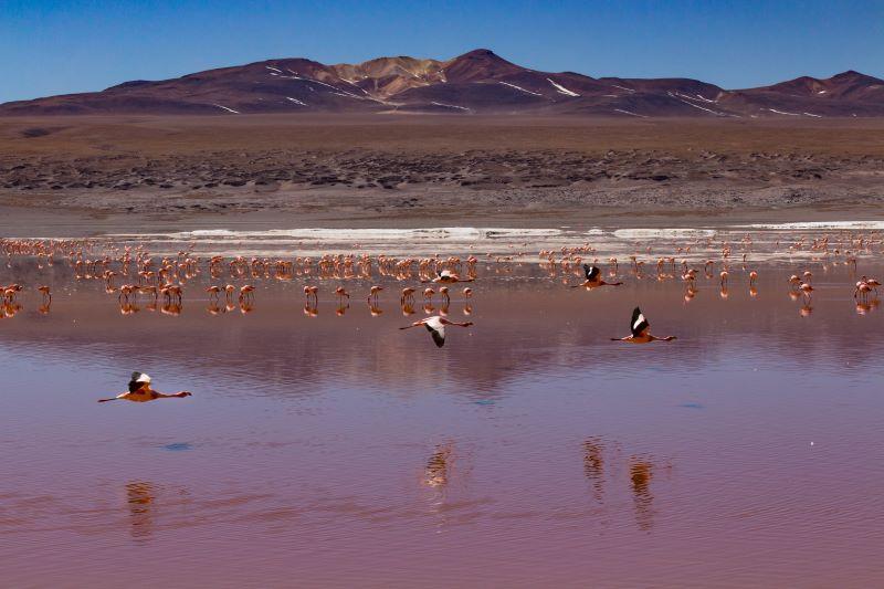 fenicotteri delle laguna colora in bolivia.