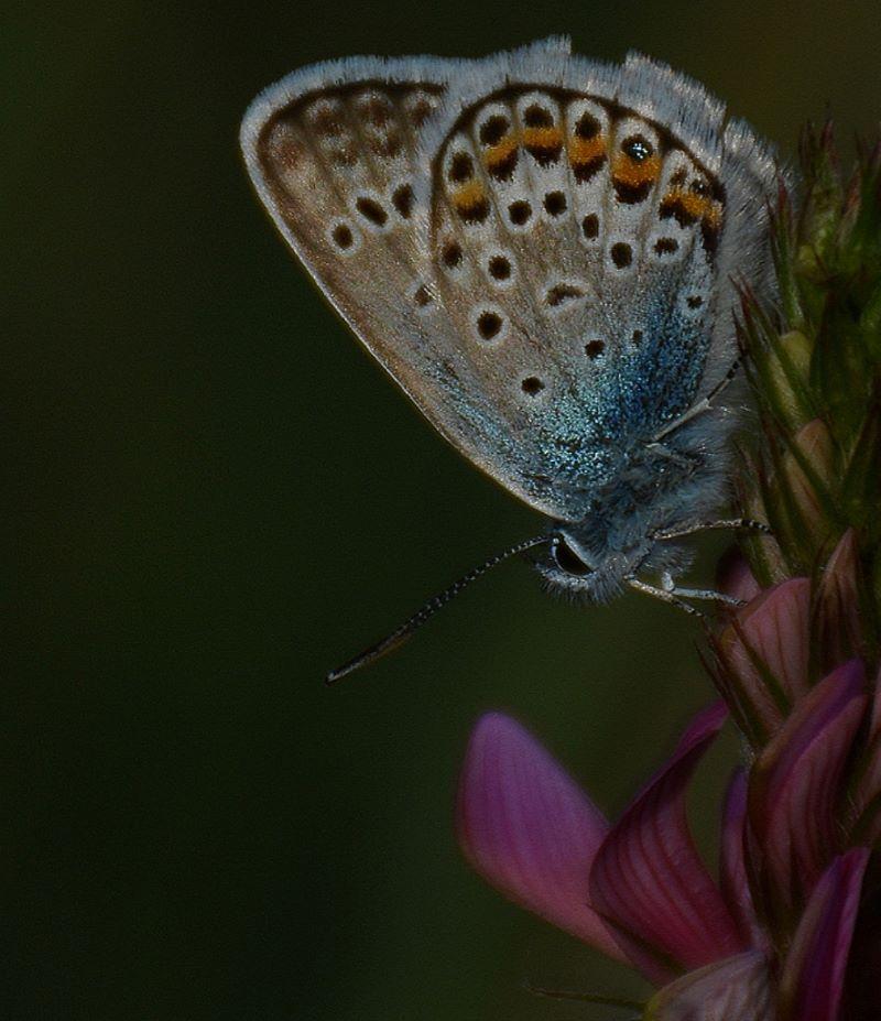 farfalla dai vivi colori