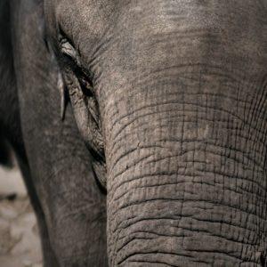 la pelle dell'elefante indiano