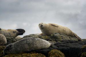 volto simpatico di una foca scozese