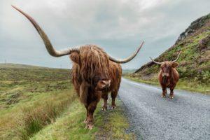 grandi corna di una highlands cow