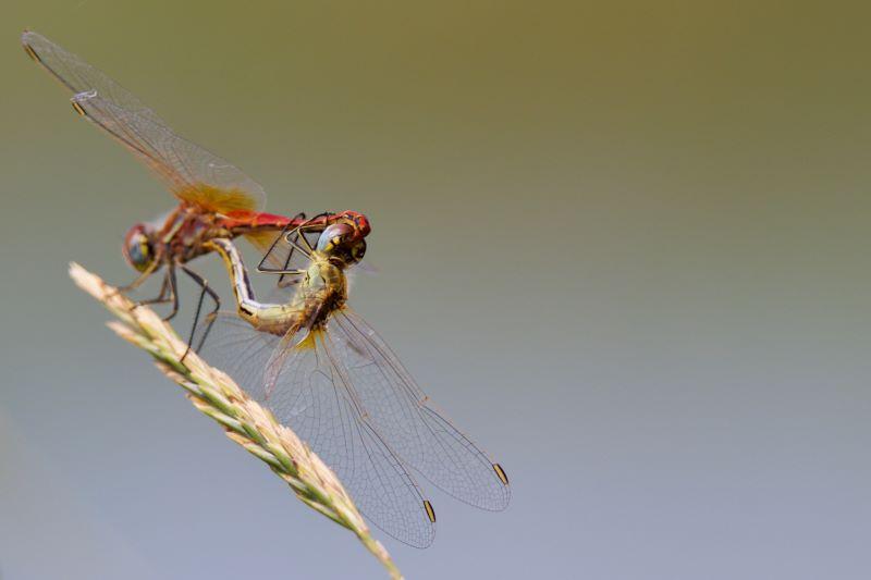 l'armonioso amplesso delle libellule