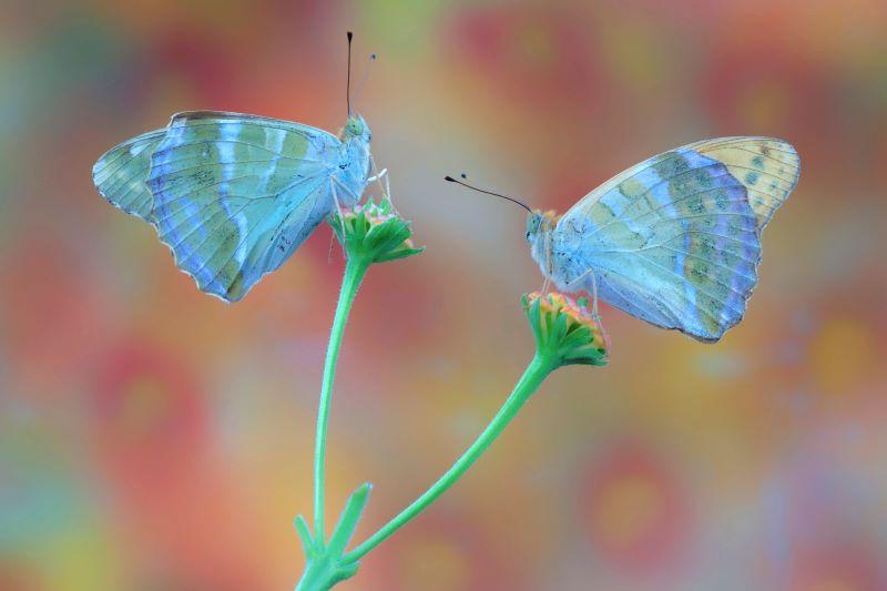 farfalle paphia
