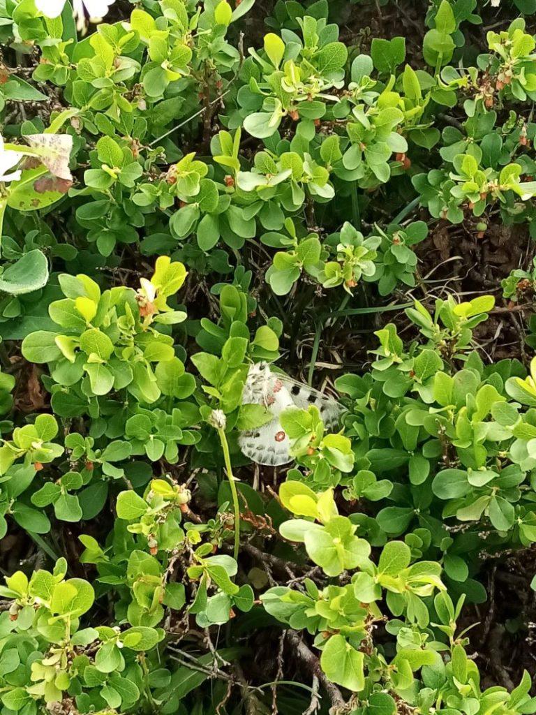 farfalla nascosta tra le foglie