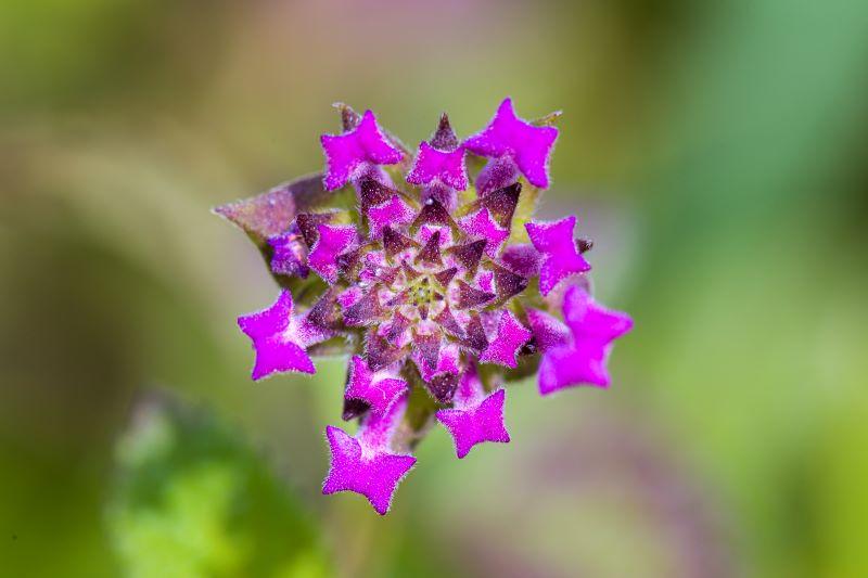 lantana sellowiana prima della fioritura