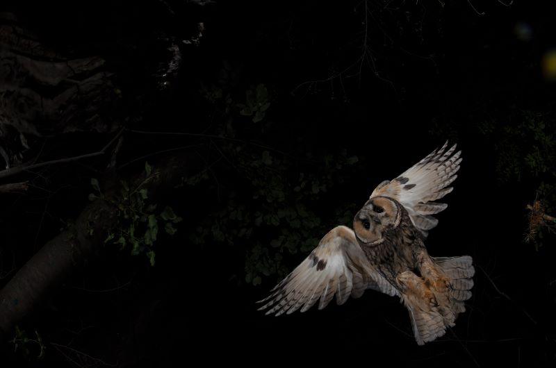 gufo durante la caccia notturna