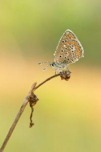 farfalla licenide