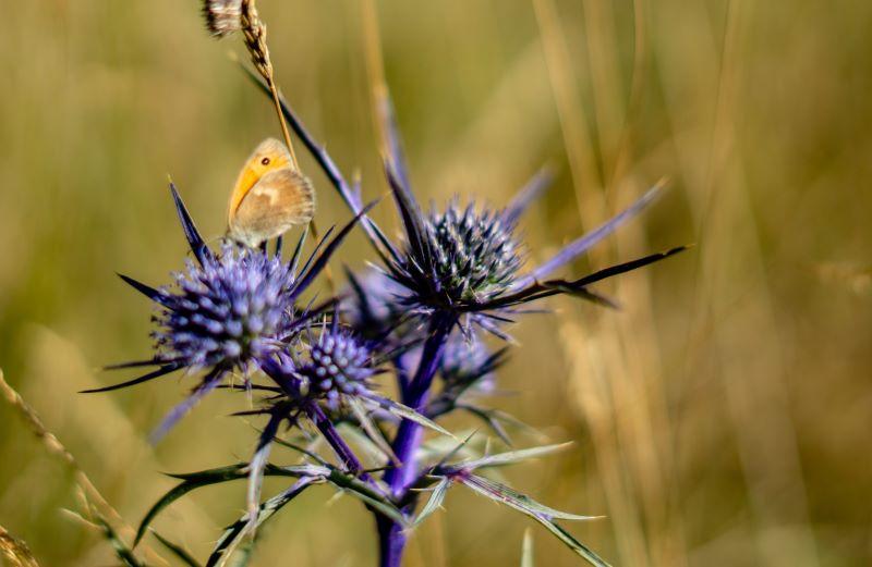 il cardo e la farfalla