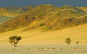 antilopi springboks