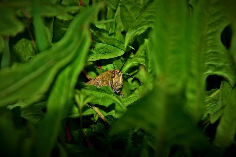 cavalletta tra le foglie