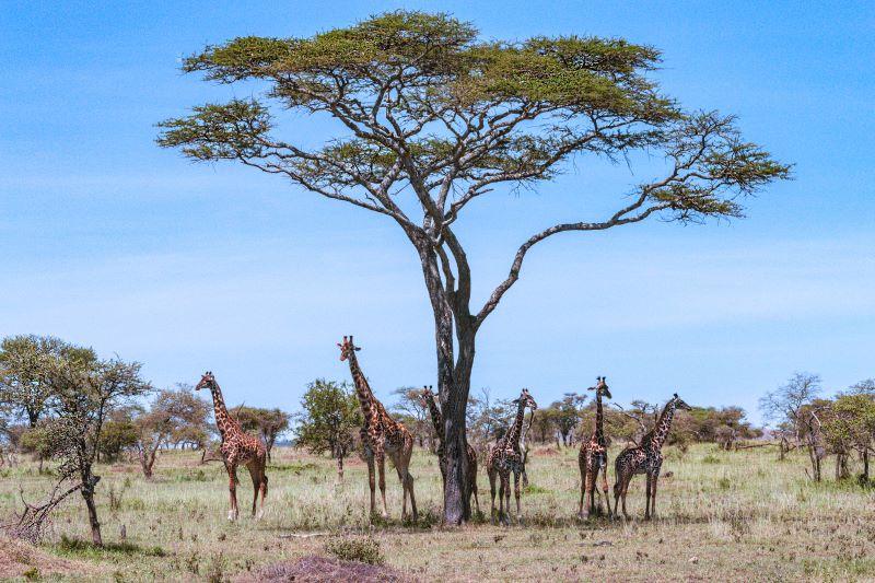 Raduno all'ombra dell'acacia