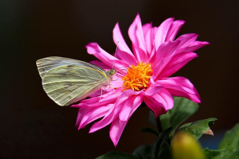 La farfalla e la dahlia