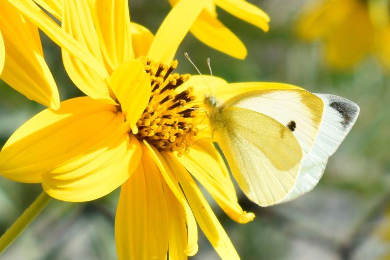 Quando fiore e farfalla si fondono e confondono