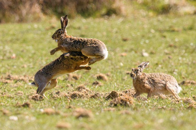 Combattimento tra lepri