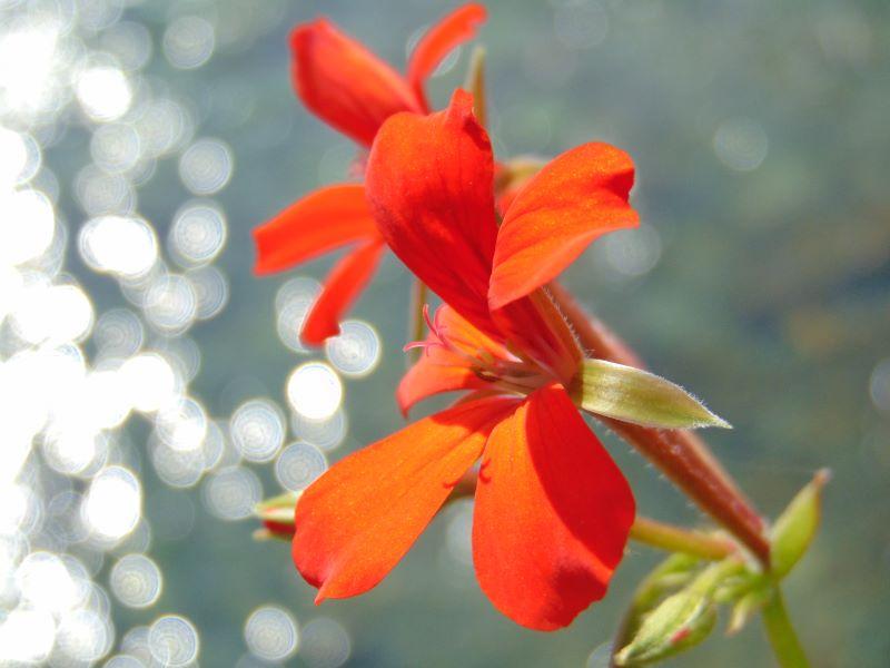 Fiore rosso su torrente Bitto