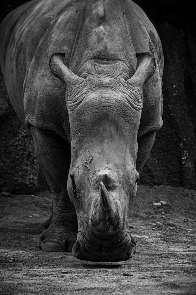 Rinoceronte in bianco e nero